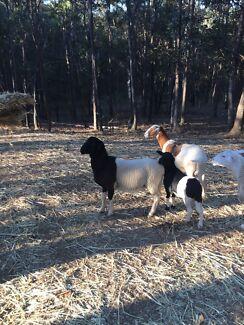 Dorper x Damara Ram lamb Samford Valley Brisbane North West Preview