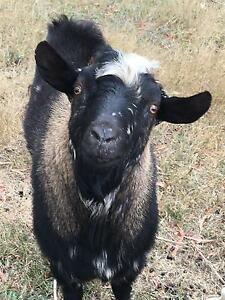 3 year old Breeding Buck Goat Gordon Moorabool Area Preview
