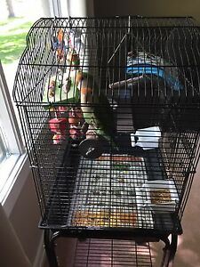 2 male lovebirds(brothers) for sale