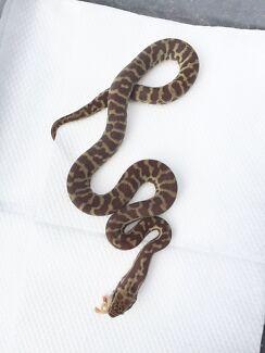 Stimson's Python for sale Bickley Kalamunda Area Preview