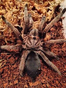 Insects pets, tarantulas, scorpions, beetles Sydney City Inner Sydney Preview