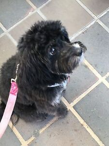 Black Female Cavoodle Lilyfield Leichhardt Area Preview