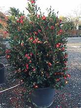 CAMILLEA YULETIDE 200 Litre Pot Good Quality and Size!! Annangrove The Hills District Preview