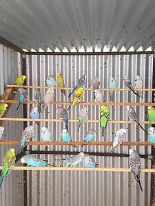 Young budgerigars for sale Young Young Area Preview