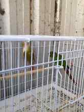 Pineapple conures Villawood Bankstown Area Preview