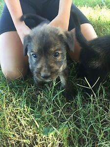 Wolfhound/border collie X Kelpie pups for sale Brightview Somerset Area Preview