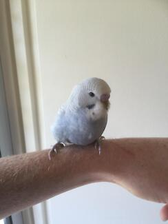 Baby budgies only 5 left!!! Thornlands Redland Area Preview