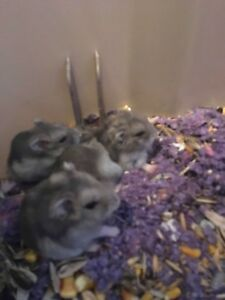 Dwarf Russian hamsters