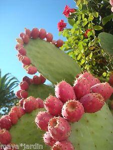 20 graines cactus fruit rose figuier de barbarie opuntia ficus indica seeds. Black Bedroom Furniture Sets. Home Design Ideas