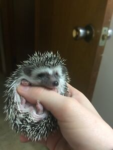 Baby Hedgehogs ready April 9th!