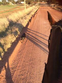 17hh standardbred gelding Northam 6401 Northam Area Preview