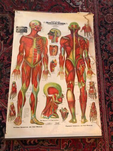 Antique 1910 Medical Anatomy Chart Dr G H Michel Muscular System Poster Vintage