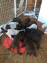 Registered German Shorthaired Pointer Puppies Armadale Armadale Area Preview