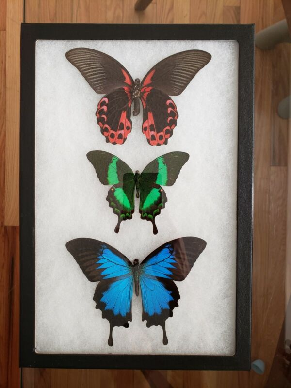 🦋REAL FRAMED BUTTERFLY🦋RED GREEN BLUE🦋