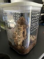 """Rehoming 1.5"""" P.irminia with arboreal set up"""