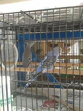 Sweet budgie chicks. 2 normal 1 opaline. $17.50 Sunday only. Morningside Brisbane South East Preview