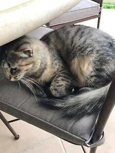 Free 1 year old cat Lidcombe Auburn Area Preview