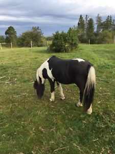 Pony for sale. 10 hands