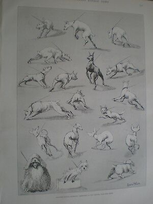 Nature's Fitful Moments Kennel Club Dog Show Louis Wain 1890 prints ref AU