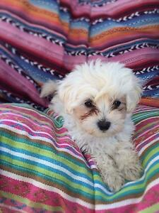 Male Maltese x Poodle puppy Birkdale Redland Area Preview