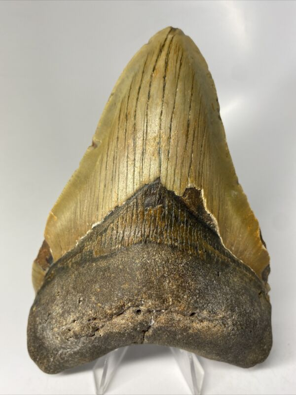 """Megalodon Shark Tooth 5.34"""" Beautiful - Big Fossil - Authentic 9981"""