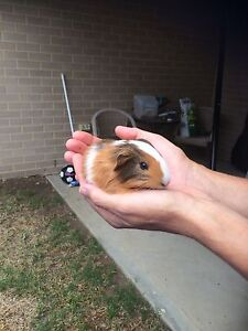Baby guinea pigs males Maitland Maitland Area Preview