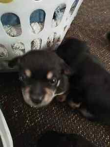 Cute male puppy North Toowoomba Toowoomba City Preview