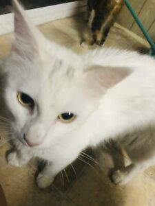 Beautiful white Turkish angora/ rag doll