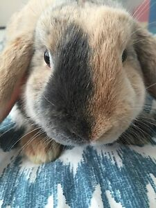 Neutered Holland Lop! Young sweet and friendly.
