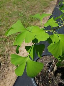 Maidenhair Tree - Ginkgo