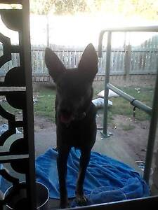 male kelpie pup for giveaway. Mackay Mackay City Preview