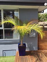 Pots and palms for sale Dingley Village Kingston Area Preview