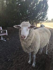 SHEEP lost Two Wells Mallala Area Preview