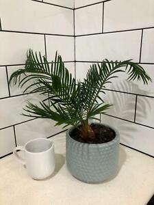 Cycas revoluta  2xplant