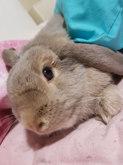 Lop bunny for sale