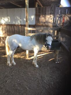 Lovely Welsh Harness Pony For Sale. Fentons Creek Loddon Area Preview