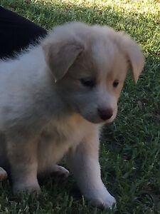 Pure bred border collie pups for sale Milton Shoalhaven Area Preview