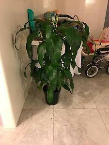 Large indoor plant Caulfield South Glen Eira Area Preview