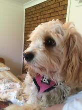 Seeking someone to walk my 15 month old Maltalier Puppy, Sophie Ryde Ryde Area Preview