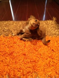 Pure breed chihuahua long hair male Craigieburn Hume Area Preview