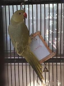 Aviary olive Indian ringnecks Clontarf Redcliffe Area Preview