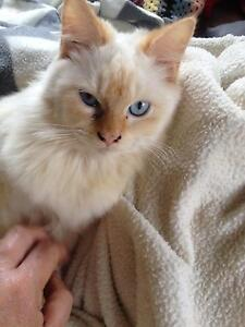 Ragdoll flame point Kenmore Hills Brisbane North West Preview