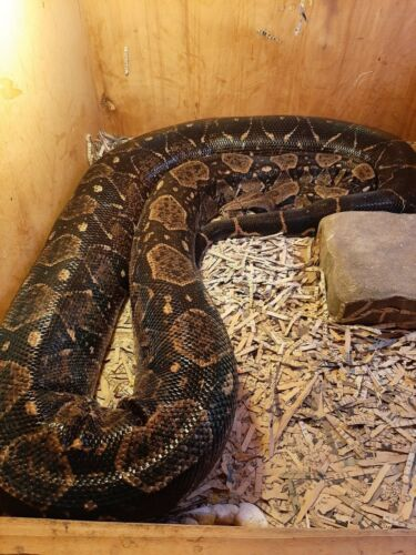"90"" Ball Python/Colombian Boa ???? Snake skin - One piece Excellent *No snake*"