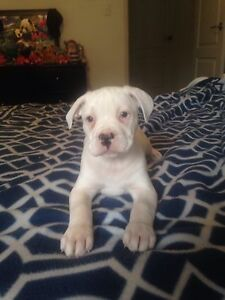 American Staffy X Albany Albany Area Preview
