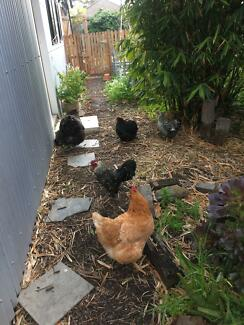 Free rooster ! Plus 5 chickens if desired to good home