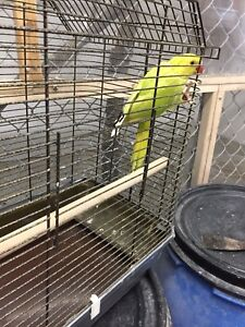 Very rare lime green Indian ringneck baby