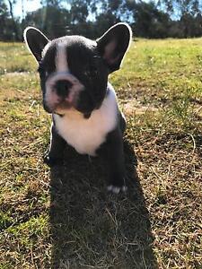 French Bulldog Puppies x 6, 3 Female, 3 Male, Blue & Blue Black Wodonga Wodonga Area Preview
