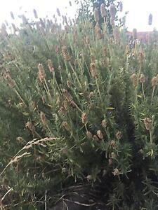 Lavender plants Armidale Armidale City Preview