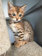 Pure Breed Bengal Kittens Warrimoo Blue Mountains Preview