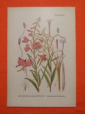 Schmalblättriges Weidenröschen (Epilobium angustifolium) Thome Lithographie 1890